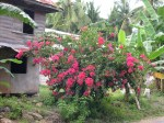 Beautiful Bougainvillea plant in a Philippines village