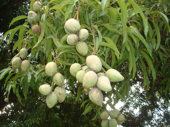 Unripe Indian mangoes on a mango tree, free wallpaper 1280x960